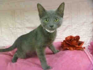 GRACIE is an adoptable Domestic Short Hair Cat in Phoenix, AZ. Men Women Children = Friendly Cats Dogs = Unknown I was recently brought to the Arizona Humane Society but because I was much too little ...