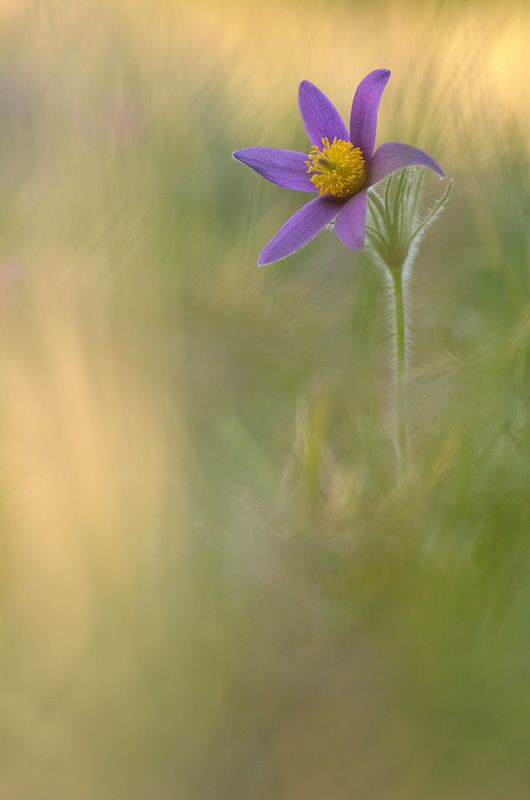 Pulsatilla vulgaris ( Pasque Flower)  Photo by FX Taxil