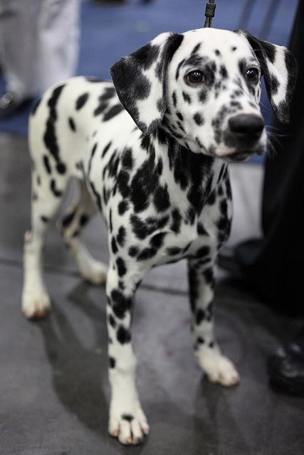 Dalmatian. Her markings are gorgeous