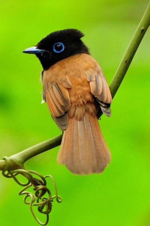 Beautiful Birds In the World, Asian Paradise Flycatcher (10 Photos)