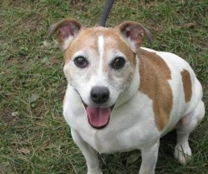 Timothy is an adoptable Jack Russell Terrier Dog in Harrisburg, PA. Timothy is a handsome, distinguished gentleman terrier seeking lasting love with a serious adopter who understands terriers and who ...