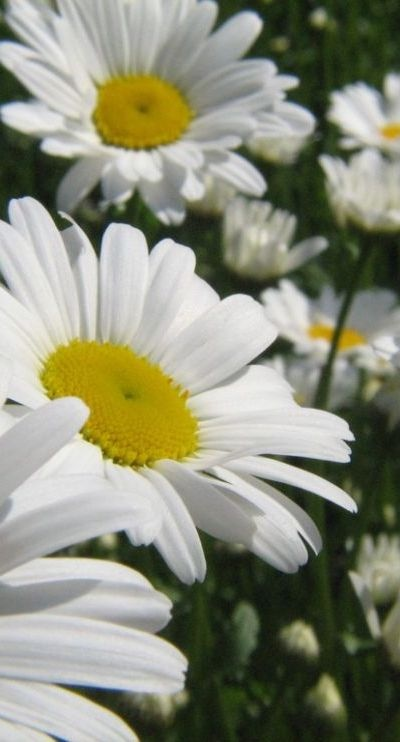 Daisies were your favourite flower. I remember you planting that big daisy bush in our backyard, when I was little. I always think of you when I see daisies :)