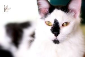 STILL AVAILABLE***Smudge Too Snickers is an adoptable Domestic Short Hair-Black And White Cat in Colorado Springs, CO.   Im as heavenly as a cloud and sweet as a marshmallow!!!! I love to go wherever you go and to see...