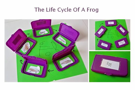 Fun and dynamic way to teach young kids life cycles! How do you teach about life cycles?