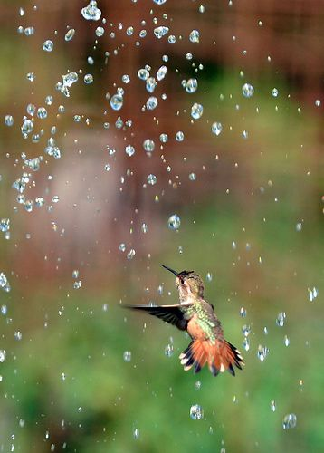 Humming Bird Shower....When I water the lawn, the hummers and the dragonflies will do this.