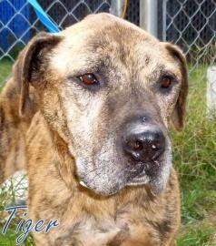 No longer available - Tiger - Bull Terrier - Georgetown, SC. Senior