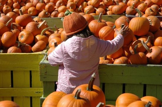 The Great Pumpkin: 5 Local Patches to Pick Your Own #pumpkinpatches #pumpkinpicking #pumpkins