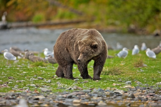 #grizzley #bear #wild #animals
