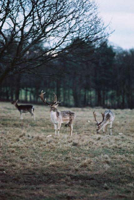3 Deer by S.A.Fischer, via Flickr