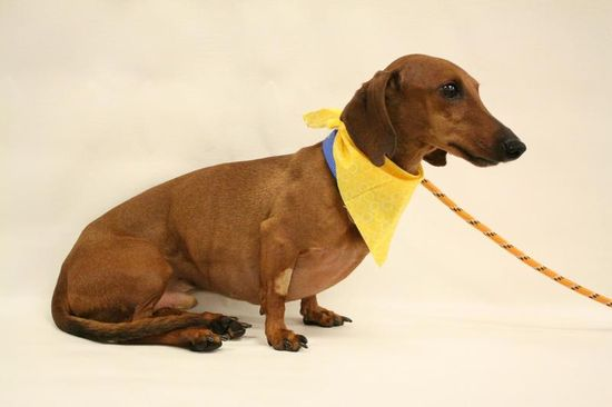 Pretzel is a male, red dachshund. Pretzel's estimated date of birth is June 2004. Pretzel is a sweet and friendly guy. .Note: ARF reserves the right to deny any application that is deemed unsuitable for the animal. Please be aware that our animal...