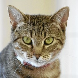 Hollywood is an adoptable Tabby - Brown Cat in Saint Charles, MO. Hollywood is a young and pretty brown tabby. She is very friendly and enjoys being the center of attention.   www.petfinder.com...