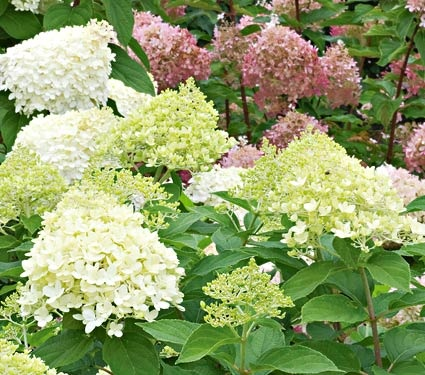 NEW! Hydrangea paniculata Little Lime™    The same refreshing color as 'Limelight', on a hardy shrub about one-third the size. Hydrangea paniculata Little Lime™ grows 3-5ft tall and produces large, tightly packed, green blossoms that turn shades of vintage-pink with cool weather.