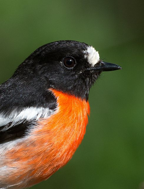 Scarlet Robin - Petroica multicolor