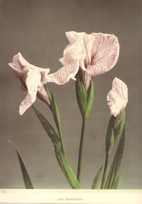 Iris  Some Japanese Flowers by K. Ogawa, Photographer, in Collotype
