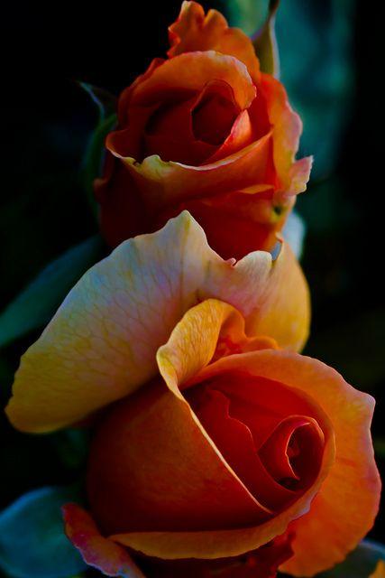 Double Harmony, Rose