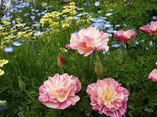 Rose chiffon