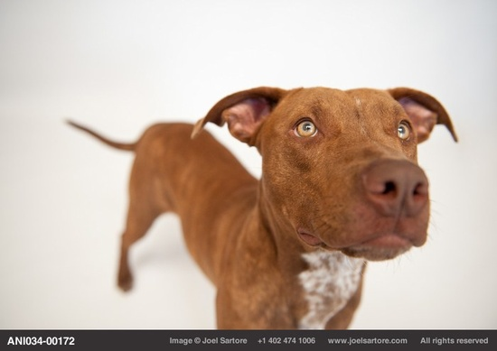 Maria, a pit bull terrier, at the Capital Humane Society in Lincoln.