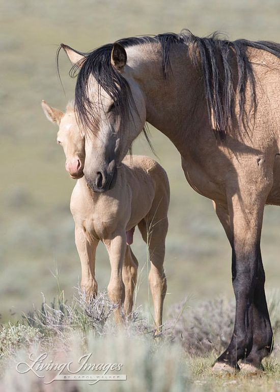 Wild buckskin mare and her young cremello colt, McCullough Peaks Herd Area of Wyoming.