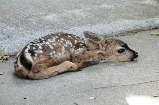 fawn born on welcome mat
