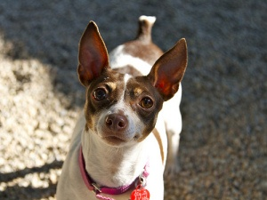 CHLOE is an adoptable Rat Terrier Dog in Boston, MA.