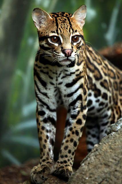 Cute baby jaguar photo