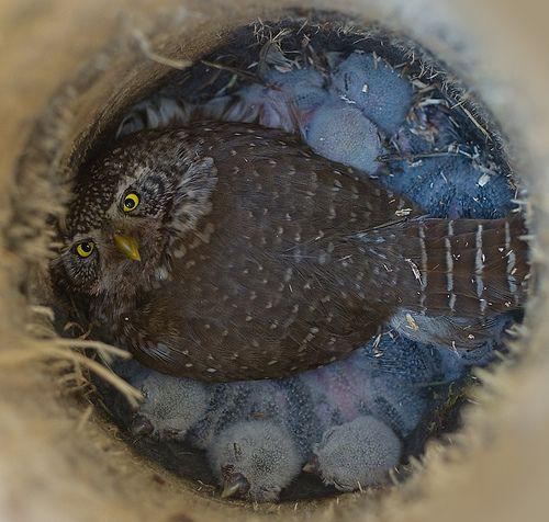 Owl on Owlets.