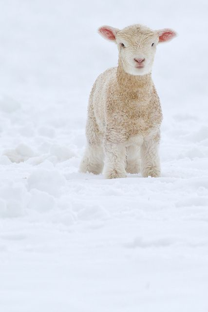 here's the little lamb we hear and tell about - fleece as white as snow