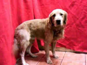 A4523551 URGENT DOWNEY SHELTER is an adoptable Golden Retriever Dog in Downey, CA. **WE NEED VOLUNTEERS TO POST & REMOVE PETS ON PETFINDER. IF YOU CAN COMMIT TO THE CAUSE OF HELPING SAVE SHELTER ANIMA...