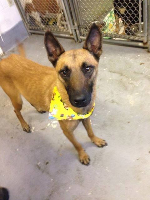 #WVIRGINIA #URGENT #GassingShelter - Storm ID 2258 is a Belgian Malinois Shepherd dog in need of a loving #adopter / #rescue at HUMANE SOCIETY of RALEIGH COUNTY 325 Gray Flats Rd Beckley WV 25802 mailto:rcpets@hot... P 304-253-8921