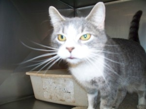 Pat the Cat is an adoptable Domestic Short Hair - Gray And White Cat in Shelbyville, IN. Pat the Cat (not sure who named her) is a stray that was brought in with another cat from Mobile Home Villa in ...