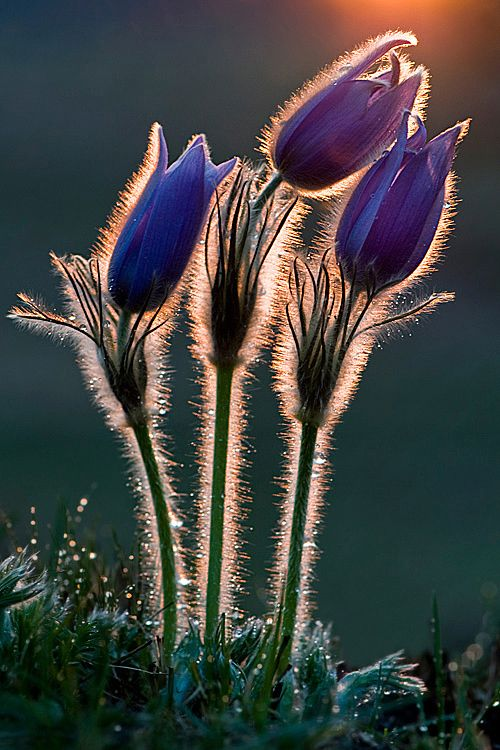 Pulsatilla Grandis  // Great Gardens & Ideas //