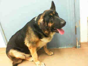 BIG FOOT is an adoptable German Shepherd Dog Dog in Hayward, CA. Big Foot is a low energy, easy going BIG dog. Weighing in at 156 pounds, he almost looks more like a bear than a dog! He currently has ...