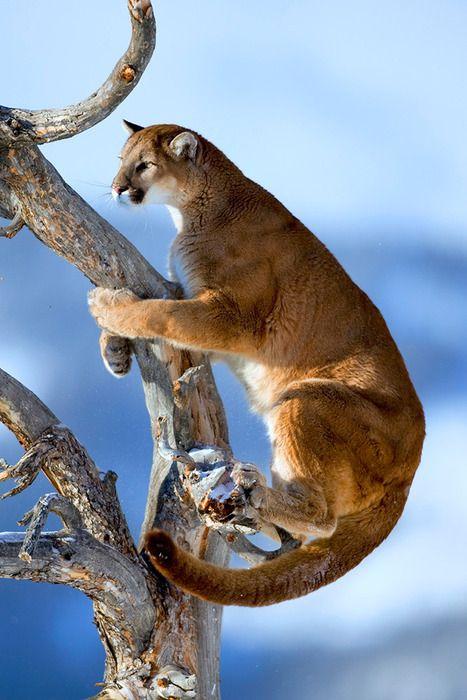 Puma by catman-suha (Suha Derbent).