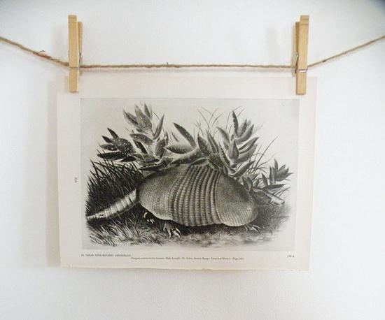 Vintage Audubon Texas Armadillo Print Naturalist by mothrasue, $8.00