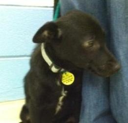 No Longer Listed for Adoption...Hoping for a Happy Ending!!!  Blake: Schipperke Mix, Dog; Lansing, MI