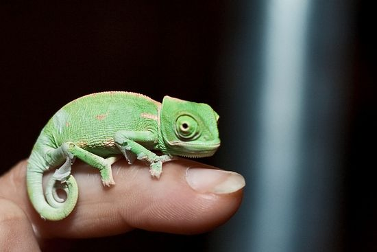 Baby Chameleon by lcooper1223 #Chameleon
