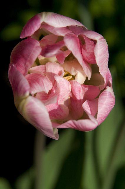 Tulip Ruffles