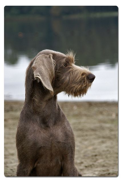Slovakian Rough-haired Pointer... her name is Guusje.