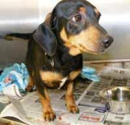 Sadie is an #adoptable Dachshund Dog in #Chantilly, #VIRGINIA. Sadie is a standard size dachshund, weighing about 20-25. She gave birth to 10 pups. She is sweet and cuddly, and a Houdini at getting out of her ...