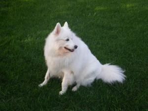 Dicara is an #adoptable #senior Samoyed Dog in #ArlingtonHeights, #ILLINOIS. Hi everyone! My name is Dicara.  I'm a female Samoyed, about 9 years old.  But that doesn't mean I'm too old to find a new forever home!  I... Contact Info: 847-255-4815