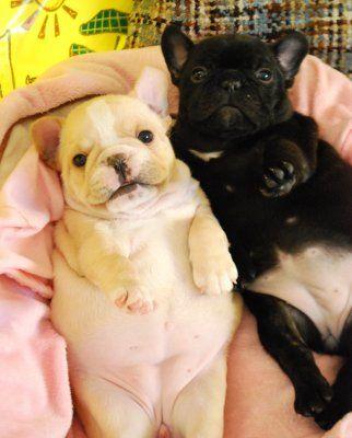 french bulldog puppies - so fat!!!