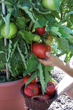 Vegetable garden - tips and ideas