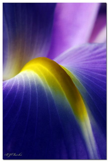 Iris - purple and yellow, macro