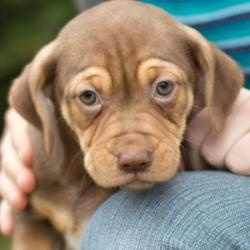 Shelly is an adoptable Boxer/Hound mix dog in Catharpin, VA. Shelly, a female, is one of Faith's puppies. Mama Faith is a Hound mix, and the litter was born in mid-January. Cuddly and sweet, as are all puppies,...