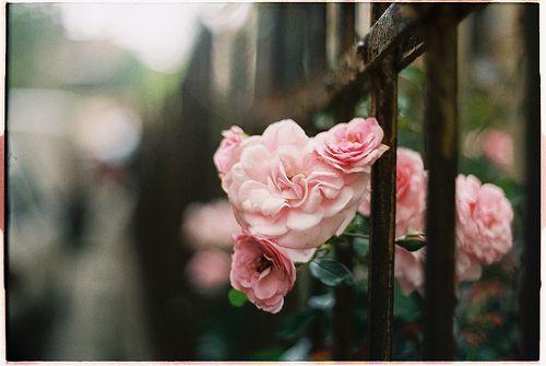 roses (by em.ra)
