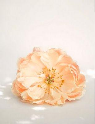 luscious peach rose