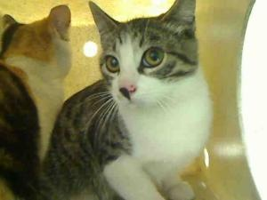 A4539743 is an adoptable Domestic Short Hair Cat in Gardena, CA.  ...