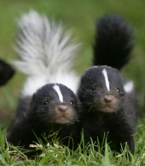 Baby skunks are stinking cute. #babies #animals #vigorelle