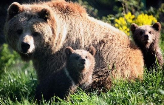 Brown bear cubs play with their mother, Mia, at a wildlife park on April 27, 2007, in Poing, Germany.