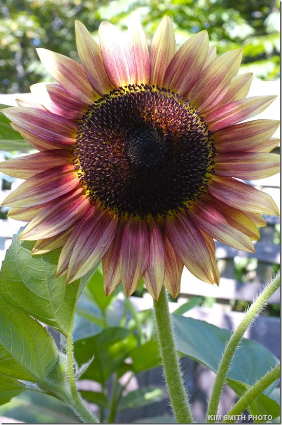 Pink Sunflower!